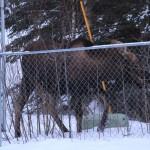 Nature Study Tuesday ~ Moose Spotting