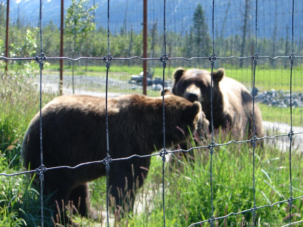 Brown Bears up close at the Alaska Wildlife Refuge