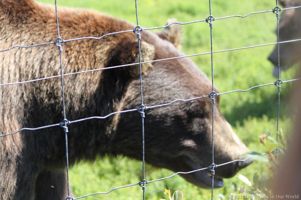 Close up of a bear at the Alaska Wildlife Center