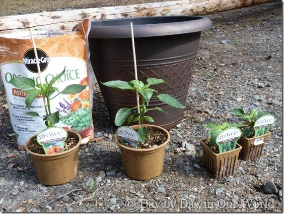 Preparing to Transplant Pepper Plants #DigIn #Ad