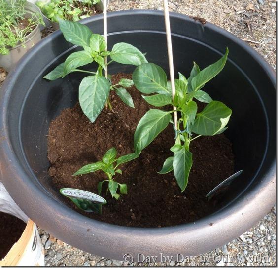 Finished Pepper Pot #DigIn #Ad