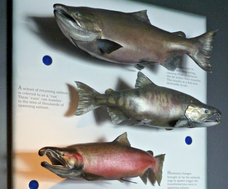 Examples of Salmon Found in Alaska