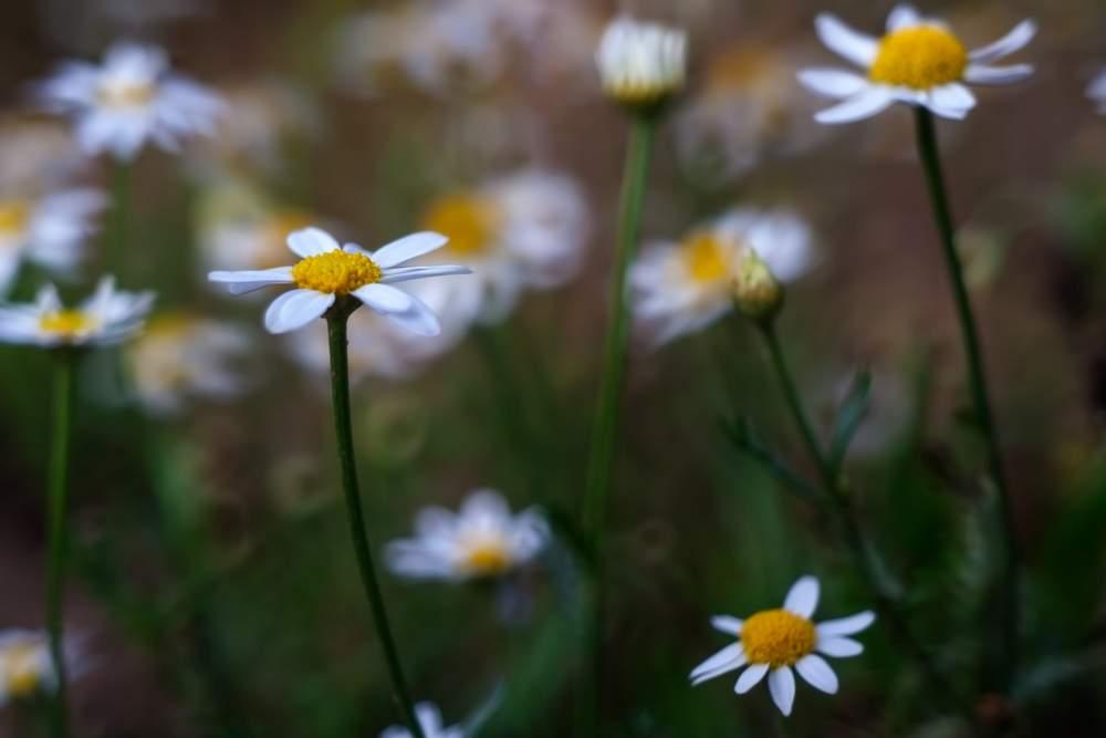 White wild chamomile flowers in sunset light
