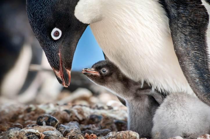 Penguins from Disney 2019